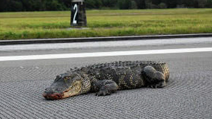 An alligator caused a military airport in Florida to shut down a runway for more than an hour. Between 1990 and 2019, 27 alligators, 24 green iguanas, and one spectacled caiman were strick by aircraft in the United States. Photo by K. McLellan, U.S. Department of Agriculture.