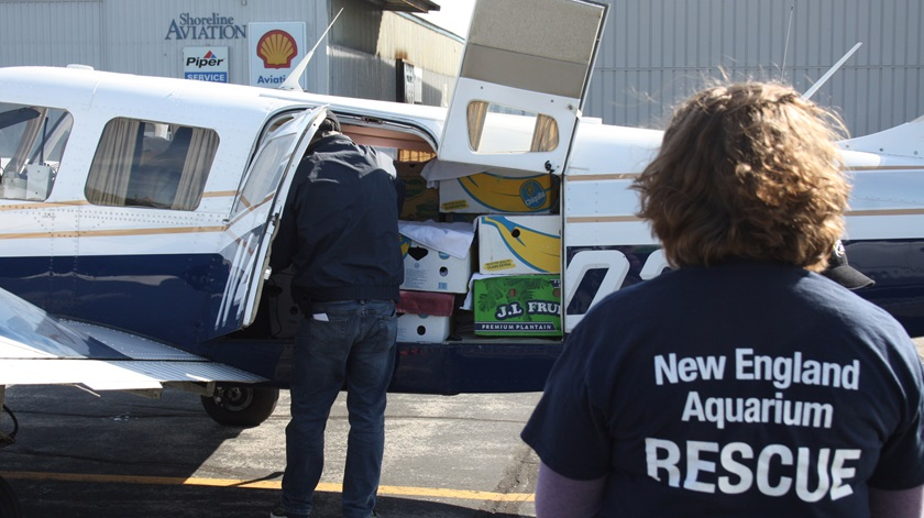 The sea turtles are transported in fruit boxes. Photo courtesy of New England Aquarium.
